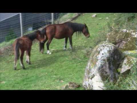 Vídeo dos cavalos Garranos Selvagens do Gerês