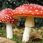 cogumelo_geres