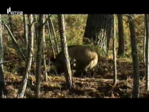 Portugal Selvagem – O Magnifico Lobo Ibérico